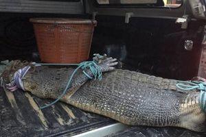 Cá sấu dài 2,5 m bị bắt sau 11 ngày gây náo loạn đảo Phuket