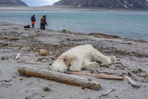 Đau lòng gấu Bắc Cực bị bắn chết vì tấn công đoàn khách du lịch