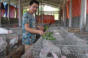 Lạ mà hay: Cử nhân trồng cỏ hoàng ngọc nuôi thỏ, con nào cũng to khỏe