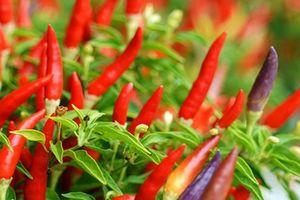 Trái ớt lại mang về cho HAGL Agrico 336 tỷ đồng