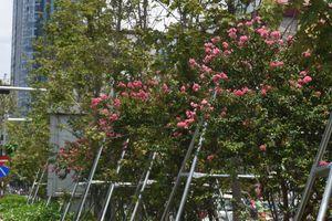 Hoa tường vi khoe sắc hồng bên hàng phong lá đỏ