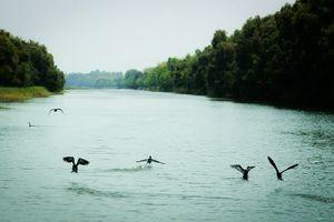 Vườn Quốc gia Tràm Chim: Sếu đầu đỏ giảm báo động
