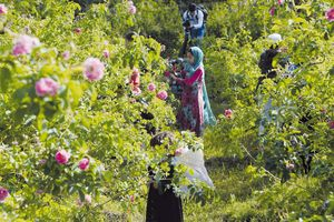 Khi hoa hồng thay hoa anh túc