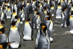 1,8 triệu con chim cánh cụt vua 'bốc hơi' bí ẩn ở Pháp