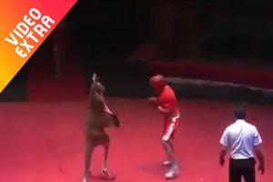 Kangaroo đánh võ sĩ 'ná thở' trong màn xiếc hài hước