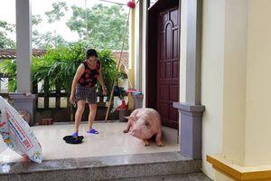 Cận cảnh nước trắng xóa Chương Mỹ, lợn vào nhà ở cùng chủ