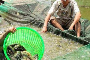 Hậu Giang: Chưa bao giờ dân nuôi cá rô bự lại trúng giá như thế này
