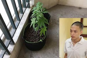 Kỹ sư thuê chung cư cao cấp ở Hà Nội cùng bạn gái trồng cần sa