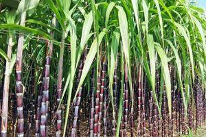 8 bài thuốc dân gian nổi tiếng từ cây mía đường