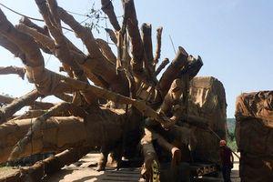 Vụ vận chuyển cây 'đại thụ' trên quốc lộ: Công ty Hải Sơn xác nhận chở cây cho nhà chùa