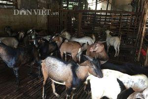 Cận cảnh mô hình nuôi dê VietGAP thu tiền tỷ mỗi năm