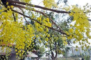 Ngắm hoa Osaka nở rộ tuyệt đẹp trên phố Sài Gòn