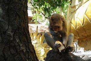 Khỉ trên núi Châu Thới ở Bình Dương bị săn trộm