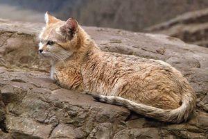 8 bí ẩn thú vị về loài mèo cát