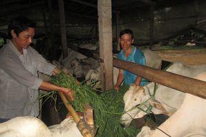 Làm giàu nhờ hợp tác nuôi bò
