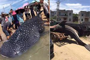 Xót xa cá mập voi dạt bờ chết thảm