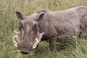 Lợn rừng hung dữ tấn công khiến một người bị thương nặng