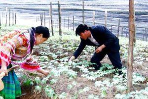 'Cây tiền tỷ' trên vùng cao Lào Cai