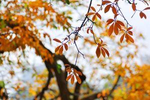 Hà Nội vàng ruộm mùa lộc vừng thay lá cuối tháng 3
