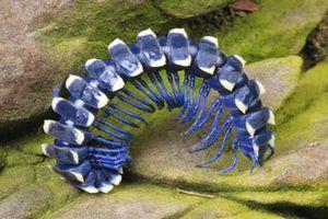 Chân dung loài sâu xanh biếc độc đáo nhất hành tinh