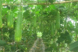 Gia Lộc: Mở rộng diện tích trồng bầu