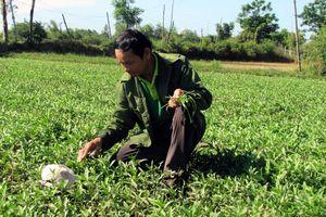 Tự tạo cơ hội: Trồng cỏ mực dễ kiếm tiền