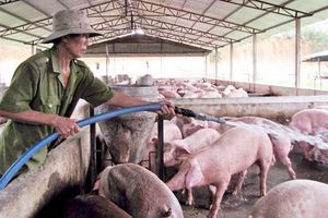 Nghiên cứu chế tạo vaccine phòng bệnh PED cho lợn nuôi trang trại