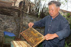 Tự tạo cơ hội: Nuôi ong lấy sữa