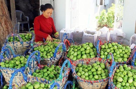 'Táo Ninh Thuận' chuẩn VietGAP ra thị trường
