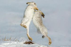 Ảnh động vật tuần: Cặp thỏ rừng quyết chiến trên đồng tuyết