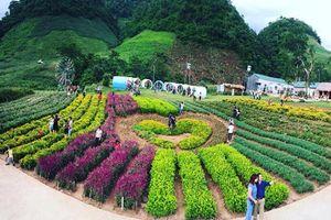 Thung lũng hoa đẹp như mơ ở thiên đường Mộc Châu