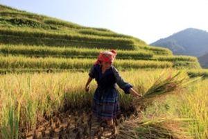 Xây dựng thương hiệu gạo đặc sản vùng cao (Kỳ 1)