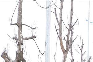 Cây mới trồng chết khô hàng loạt trên nhiều tuyến phố Hà Nội