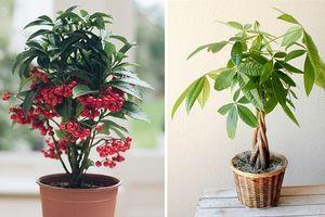 10 loại cây để bàn vừa đẹp vừa rước tài lộc dịp năm mới