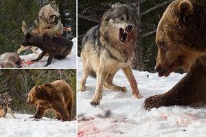 Gấu nâu khổng lồ hung hăng đánh cướp thịt hươu của sói xám