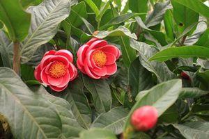Những điều thú vị ít người biết về cây hoa hải đường