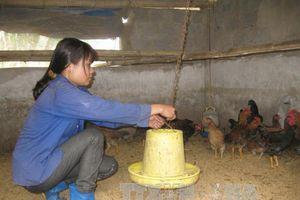 Nông dân Ninh Bình nuôi gà nòi Ja-Dabaco