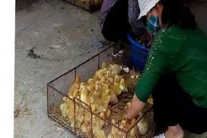Phú Xuyên: Vô tư buôn bán gia cầm giống không qua kiểm dịch