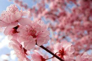 Hoa anh đào - Quốc hoa của Nhật Bản và những ý nghĩa ít người biết đến