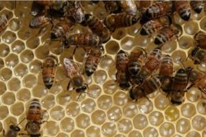 Máy bay chậm khởi hành vì bầy ong không mời mà đến