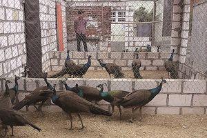 'Hái' ra tiền từ nuôi chim công Ấn Độ