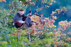 Những loài linh trưởng quý hiếm ở Việt Nam nhiều quốc gia mơ ước