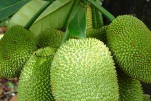 Kỹ Thuật trồng cây mít Tứ quý cho quả ngọt lịm, mang lại kinh tế cao