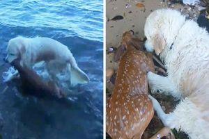 Thán phục hành động cứu nai con của chú chó 'nghĩa hiệp'