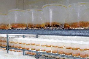 Bên trong trại đông trùng hạ thảo nuôi cấy ở miền Tây