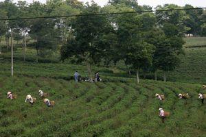 Diện tích chè ở Lâm Đồng sụt giảm mạnh