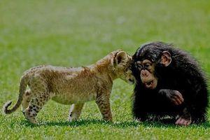 Tình bạn cực hiếm giữa sư tử và khỉ đột con