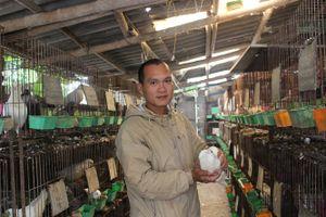 Bí quyết nuôi hơn 1.000 con chim bồ câu Pháp, lãi 30 triệu đồng/tháng