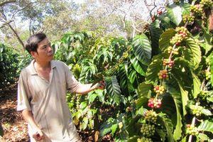 Nông dân lo lắng vì cà phê được mùa nhưng mất giá