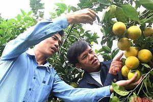 Thơm ngọt mùa cam ở Yên Thành
